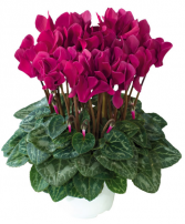 Cyclamen color may vary