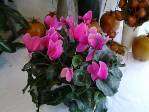 Cyclamen Flowering Plant in Darien, CT | DARIEN FLOWERS