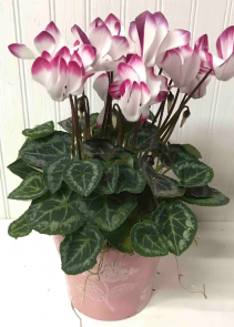 Cyclamen in pot