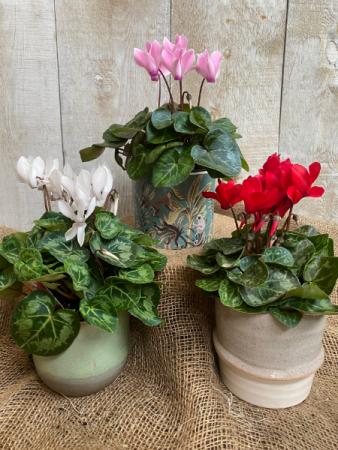 Cyclamen in decorative pots plant