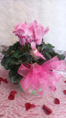 Cyclamen Pink