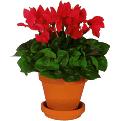 Cyclamen plant