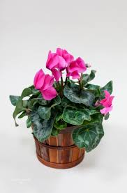 cyclamen plant blooming plant