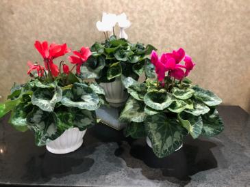 Cyclamen Plant Cyclamen Plant