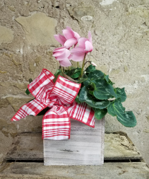 Cyclamen Plant in Wood Box