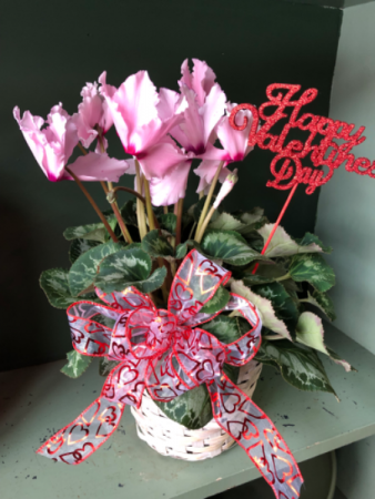 Cyclamen plant Valentines