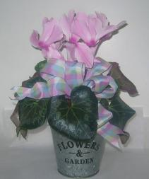 CYCLAMEN PLANTER Blooming Plant