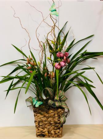 Cymbidium Orchid  Blooming Plant