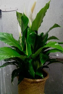 D150  peace lily