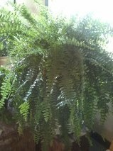 D2023 boston fern