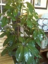 D2031 scheffelera plant