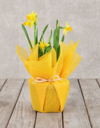 Daffodil Potted Plant