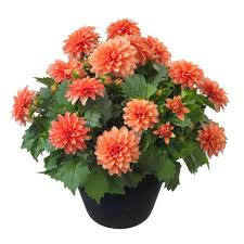 Dahlia Pot Outdoor Plants in Fitchburg, MA | CAULEY'S FLORIST & GARDEN CENTER
