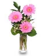 Daisy Power Pink Gerber Daisy's