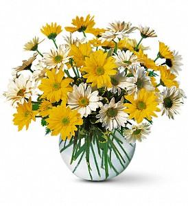 Dashing Daisies  Fresh arrangenment in Cincinnati, OH | Hyde Park Floral & Garden