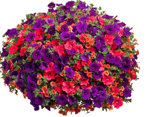 DAY TO REMEMBER   MIX  PETUNIA    HANGING  BASKET
