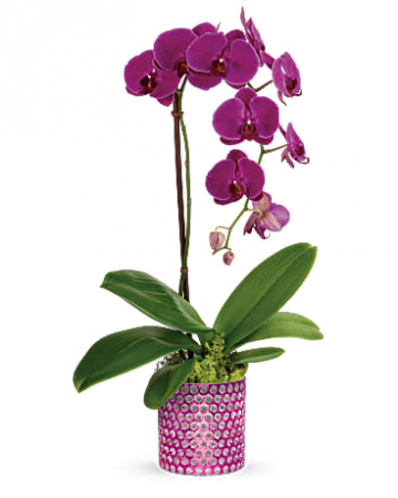 Dazzling Orchid