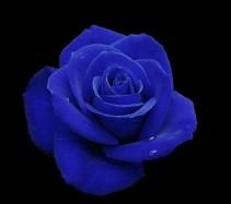 Deep Blue Roses