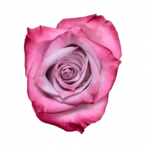 Deep Purple Rose Classic Roses Color Option