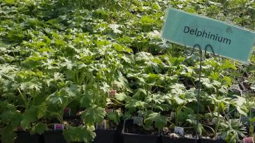Delphimium Perennial - Full sun