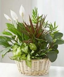 Deluxe Dishgraden Plant