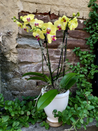 Deluxe Orchid planter 4 stems in bloom in pot