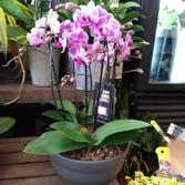Deluxe Orchid  Potted Planter