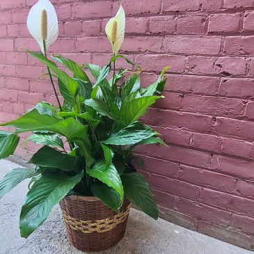 Deluxe Peace Lily Plant