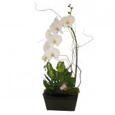 Deluxe Phalaenopsis Planter  Tropical Plants