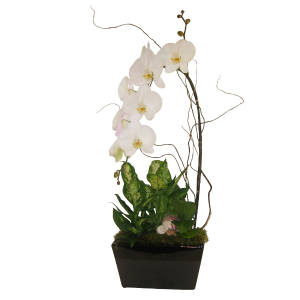 Deluxe Phalaenopsis Planter  Tropical Plants in Port Stanley, ON | FLOWERS BY ROSITA
