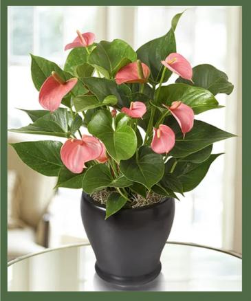Deluxe Pink Anthurium Plant / Flamingo Plant MEDIUM TO BRIGHT LIGHT WILL ENCOURAGE MAX BLOOMS