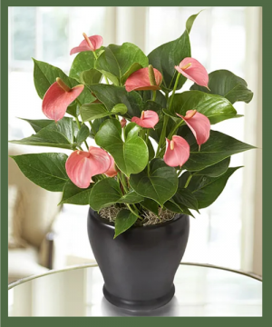 DELUXE PINK ANTHURIUM/FLAMINGO PLANT MEDIUM TO BRIGHT LIGHT WILL ENCOURAGE MAX BLOOMS