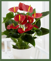 DELUXE RED ANTHURIUM PLANT MEDIUM TO BRIGHT LIGHT WILL ENCOURAGE MAX BLOOMS