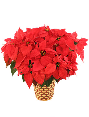 Deluxe Red Poinsettia Flowering Plant in Sheridan, WY | BABES FLOWERS, INC.