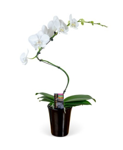 Potted Orchids Plant