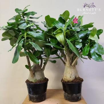 Desert Rose  (Adenium) Plant