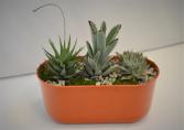 DESERT WONDER SUCCULENTS PLANTS - SUCCULENTS