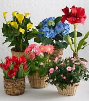 Designer Choice Blooming Plant  in Snellville, GA | SNELLVILLE FLORIST