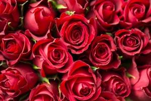 DESIGNER CHOICE Roses Designer Choice in Miami, FL | FLOWERTOPIA