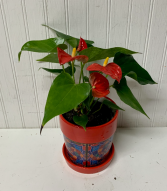 Desktop Anthurium Plant