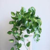 Devil's Ivy Golden Pothos