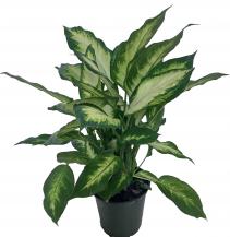 Dieffenbachia Green Plant