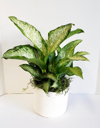 """Dieffenbachia maculata 'Exotica"""""""