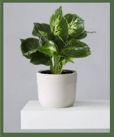 DIEFFENBACHIA PLANT / DUMB CANE BRIGHT, INDIRECT LIGHT. WILL TOLERATE LOW LIGHT AS WELL