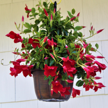 "Dipladenia 10"" Hanging Basket Florida Tropical Plant"