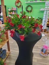 Dipladenia Blooming Plant