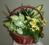 Dish Garden Basket filled with assorted plants and flowering Kalanchoe