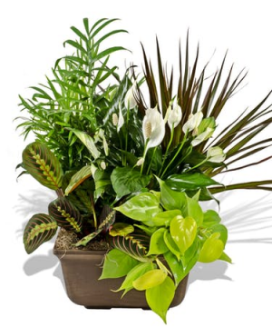 Dish Garden Non- fragrance Table top plants in Granville, NY | The Florist at Mandy's Spring