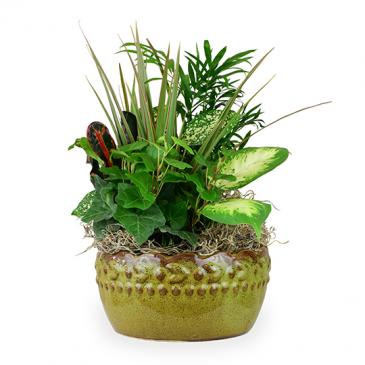 Dish Garden Plant