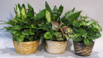 dish gardens assorted plants in baskets {variety of sizes}
